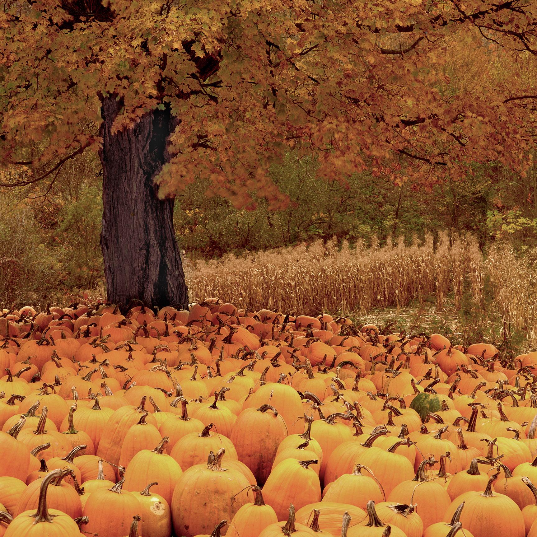 Pumpkins, Vermont, USA (050048)