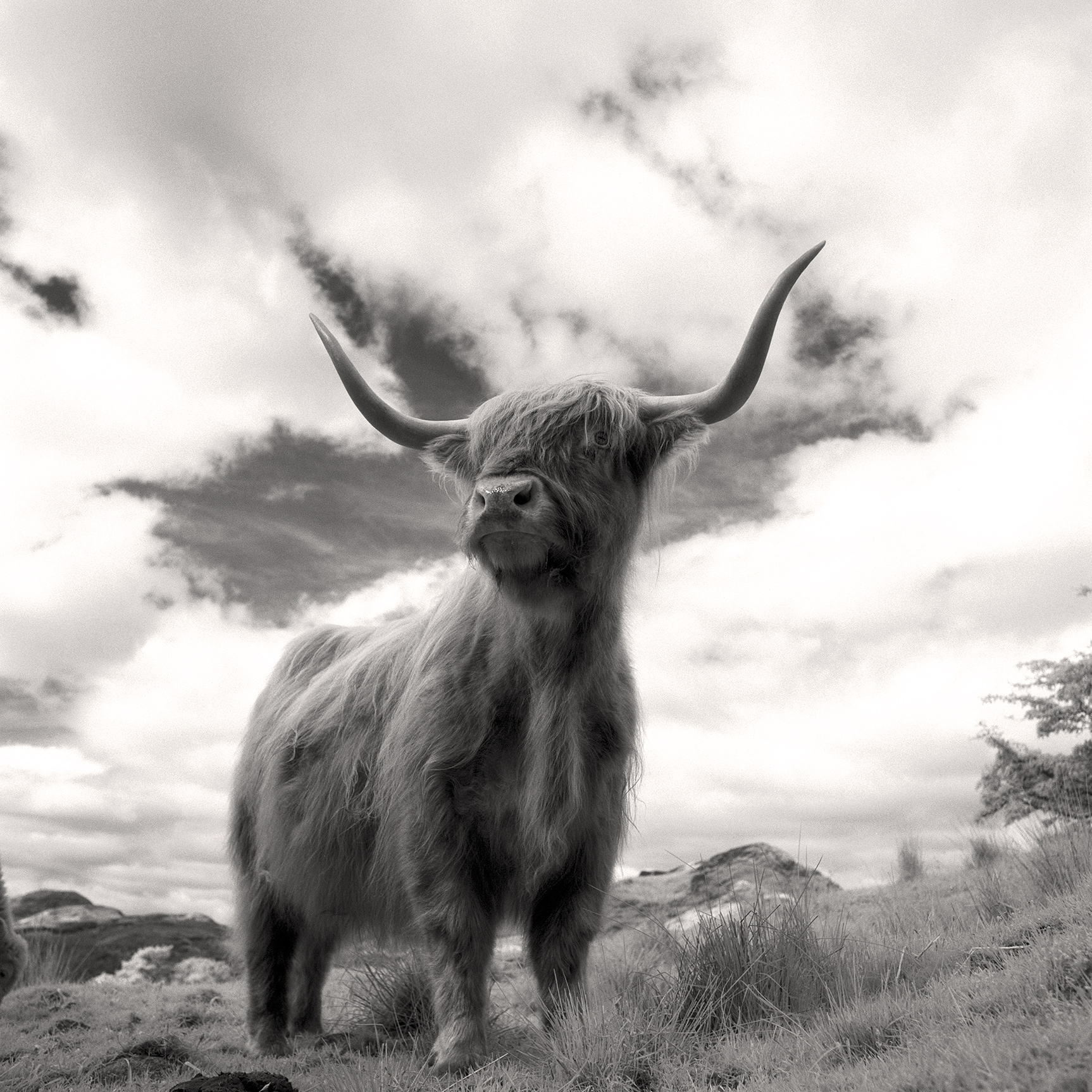 Highland Cow, Scotland (060716)